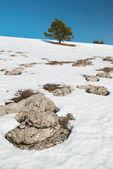 Gröna granar med snö. — Stockfoto