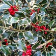Variegated Holly bush - Stock Photo
