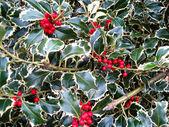 Brokiga holly bush — Stockfoto