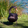 Black Swan - Stock Photo