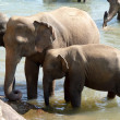 Elephants bathing - Stock Photo