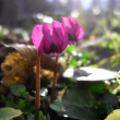 Cyclamen flowers in an outdoor garden — Stock Photo