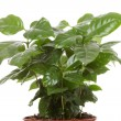 Coffee &quot;Arabica&quot; plant - Stock Photo