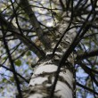BIRCH-TREE - Photo