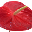 Anthurium isolated on white — Stock Photo