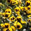 Yellow pansy flowers - Foto Stock
