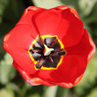 Red tulip - Foto de Stock