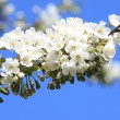 Blossoming twig of cherry-tree — Stock Photo #4868452