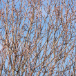 Twigs of willow with catkins — Stock Photo