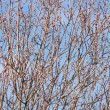 Stock Photo: Twigs of willow with catkins