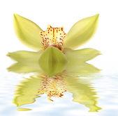 Orchideebloem — Stockfoto