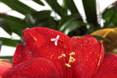 Red amaryllis macro background — Stock Photo