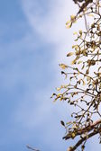 Close-up of a bunch of mistletoe (Viscum album) — Stock Photo