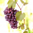 Red grape cluster - Stock Photo