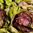 Radicchio — Stock Photo