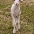 Stock Photo: Small lamb