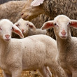 Two lambs - Foto Stock