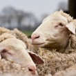 Sheeps - Foto Stock