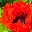 Fringed Poppy — Stock Photo