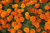 Background of orange flowers — Stock Photo
