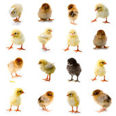 Set of chickens — Foto Stock