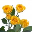 Beautiful yellow roses - Stock Photo