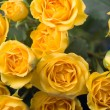 Beautiful yellow roses — 图库照片