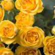 Beautiful yellow roses — Stockfoto