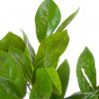Houseplant (Zamioculcas) — Stock Photo