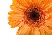 オレンジのガーベラ — ストック写真