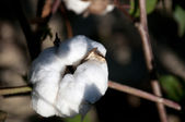 Cotton Bolls — Stock Photo