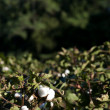 Cotton Boll — Stock Photo #4037030