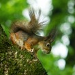Squirrel — Stock Photo #3994135