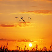 Wild geese sunset — Stock Photo