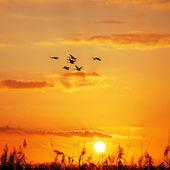 Dzikie gęsi zachód słońca — Zdjęcie stockowe
