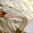 Beautiful swan drinking water — Stock Photo
