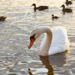 Beautiful Swan and cute ducks — Stock Photo #4173317