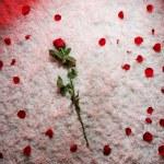 fond rouge et blanc avec rose — Photo
