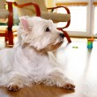 Funny white dog at home — Stock Photo