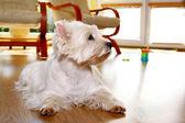 Funny bílý pes doma — Stock fotografie