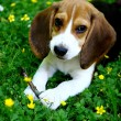 Funny beagle puppy in park — Stock Photo #4301090