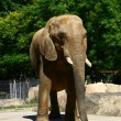 Beautiful young and big elephant in the zoo — Stock Photo #4302460
