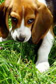 Funny beagle puppy in park — Stock Photo