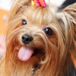 Beautiful and cute york terrier dog — Stock Photo