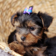 Little cute puppy at home — Stok fotoğraf