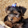 Little cute puppy at home - Stock Photo