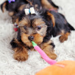 Little cute puppy at home — Foto Stock