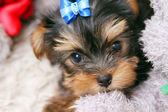 Lindo perrito en casa — Foto de Stock