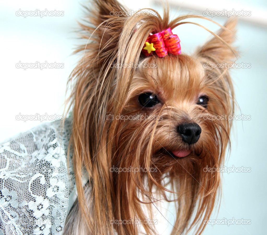 Do It Yourself Home Design: Beautiful And Cute York Terrier Dog