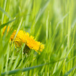 Stockfoto: Dandelion flowers
